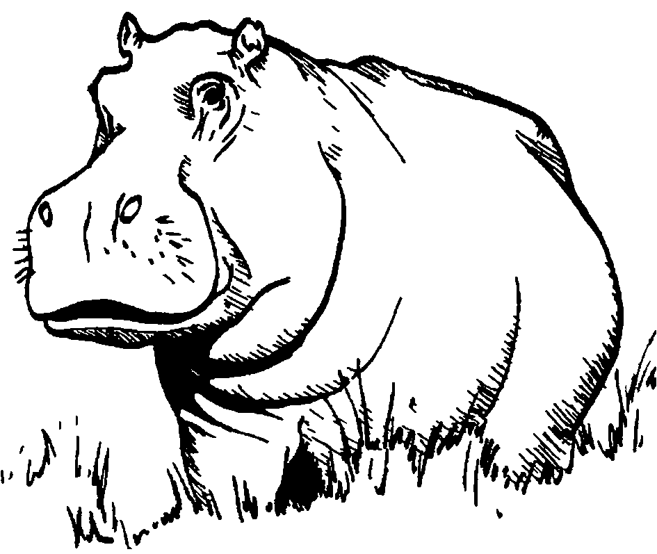 Search results for  quot hippopotamus  wild grass eating animal with short    Hippopotamus Black And White